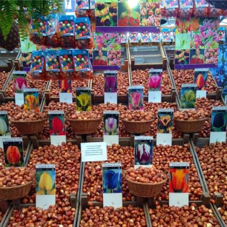 Semillas de tulipanes